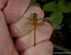 common darter (patrickcolhoun) Tags: commondarter dragonfly insect nature wildlife animal macro closeup donegal ireland countydonegal buncrana bogland bog summer beautiful ulster inishowen