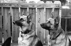 (jmphoto84) Tags: german shepherd dogs portrait pets canine k9 leica teleelmaritm 90mm trix film bw monochrome