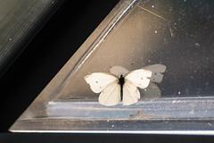 Caught in the Glasshouse (ursulamller900) Tags: pentacon28100 butterfly schmetterling kohlweisling gewächshaus mygarden