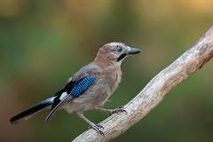 Eurasian Jay (Rob Christiaans  Landscape & Wildlife) Tags: canon5dmkiii canonef500mmf4is garrulusglandarius gaai veluwe bird birdphotography hogeveluwe