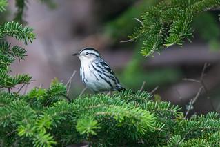 Black-and-white Warbler , Foxtrap Pastureland Road