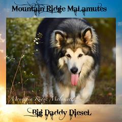 Mountain Ridge Giant Alaskan Malamutes (Mountain Ridge Malamutes) Tags: alaskanmalamute mountainridgegiantalaskanmalamutes mtnridgemalamutes woollyalaskanmalamutes giantalaskanmalamute woolly malamute mountianridgegiantalaskanmalamutes