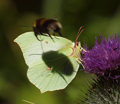 2018_07_0156 (petermit2) Tags: bee bumblebee brimstonebutterfly brimstone butterfly oldmoor dearnevalley dearne rotherham barnsley southyorkshire rspb shadow