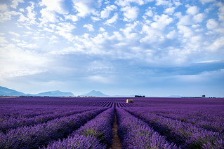 Waves of lavender (Provenza)