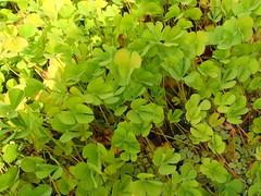 [Marsileaceae] Marsilea quadrifolia (Kleefarn) (pe_ma) Tags: farn fern fougère felce kleefarn marsileaquadrifolia