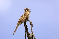 Striped Cuckoo (Naevia Tapera) (Frank Shufelt) Tags: stripedcuckoo taperanaevia cuculidae cuckoos songbirds passeriformes aves birds wildlife circasia quindio colombia southamerica february2018 20180221 8896 8930