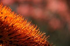 Crowded (adamsgc1) Tags: flower stamens orange toowong botanicalgardens brisbane queensland australia nature bugs ants