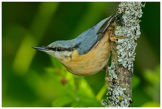 Nuthatch In Portrait