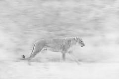 _Q4I3507-Edit (buddy4344) Tags: kambaku southafrica timbavati lion lioness