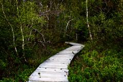 Salt Marsh Trail (Brett of Binnshire) Tags: trees activity painterly manipulations on1raw plants locationrecorded nationalpark trail kouchibouguacnationalpark canada scenic woods newbrunswick hiking kouchibouguac boardwalk saltmarsh birch glow ortonclean
