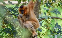 In The tree - 5645 (ΨᗩSᗰIᘉᗴ HᗴᘉS +56 000 000 thx) Tags: singe animal tree pairidaiza nature arbre hensyasmine namur belgium europa aaa namuroise look photo friends be wow yasminehens interest intersting eu fr greatphotographers lanamuroise tellmeastory flickering tamron tamron150600