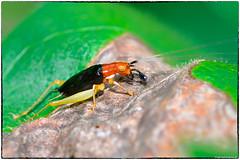 Red-Headed Bush Cricket - Phyllopalpus pulchellus (RKop) Tags: d500 nikkor200f4macro raphaelkopanphotography californiawoodspark ohio cincinnati wildlife