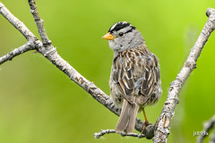 White-crowned Sparrow (jt893x) Tags: 150600mm bird d500 jt893x nikon nikond500 sigma sigma150600mmf563dgoshsms songbird sparrow whitecrownedsparrow zonotrichialeucophrys coth alittlebeauty thesunshinegroup sunrays5 coth5