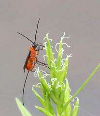 Ichneumon Wasp at Blue Mountain Lakes (Tombo Pixels) Tags: bluemountain180150 bug red black bluemountainlakes nj newjersey twb1 sussexcounty naturewalk2018 dwgnra delawarewatergap ichneumonwasp ichneumon wasp braconidwasp braconid