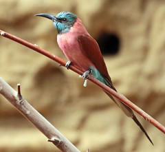 carmine bee-eater Blijdorp JN6A6861 (j.a.kok) Tags: vogel bird blijdorp beeeater carminebeeeater bijeneter karmijnrodebijeneter
