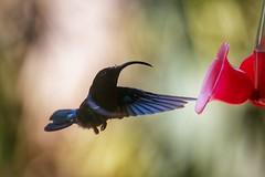 (fabhuleux) Tags: hummingbird france antilles martinique 6d canon bird nature oiseau colibri