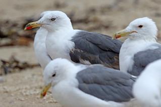 Lesser Black-backed Gull, Second Summer 5/8