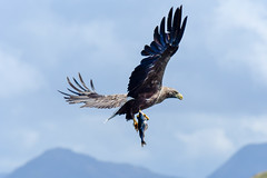 White Tailed Sea Eagle (Haliaeetus albicilla) (Baldyal) Tags: eagle sea bird loch bif wildlife water isleofmull island