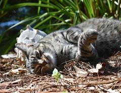 Camille (rootcrop54) Tags: camille female mackerel tabby pinestraw sea shell seashell neko macska kedi 猫 kočka kissa γάτα köttur kucing gatto 고양이 kaķis katė katt katze katzen kot кошка mačka gatos maček kitteh chat ネコ