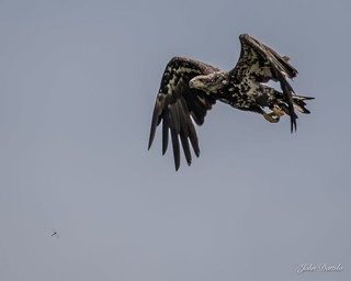 Bald eagle vs Dragonfly in a game of chicken