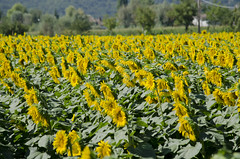 Girasoli (AleMex66) Tags: girasole rieti estate sunflower summer campagna travel tourism photography italy fiori flower nature countryside yellow walking landscape