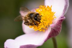 Honey bee | Postman's Park | London meandering-53 (Paul Dykes) Tags: london england unitedkingdom gb uk august2018 postmanspark park cityoflondon bee insect insecta honeybee apismellifera urbannature urbanwildlife