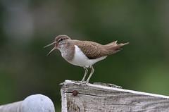 Common Sandpiper (billywhiz07) Tags: common sandpiper bird uk scotland wader calling