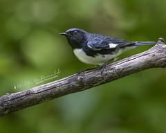Black-throated Blue Warbler (Bill McDonald 2016) Tags: warbler blackthroated blackthroatedblue billmcdonald grenfell ontario 2018 june wwwtekfxca algonquin canada branch perching perched grenfellweeblycom