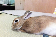 Ichigo san 1259 (Ichigo Miyama) Tags: いちごさん うさぎ ichigo san rabbitbunny cute netherlanddwarf brown ネザーランドドワーフ ペット いちごrabbit bunny いちご