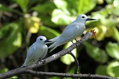 Gygis alba (Fairy Tern) - Seychelles, (Nick Dean1) Tags: gygisalba fairytern tern thewonderfulworldofbirds seychelles birdisland charadriiformes animalia chordata aves
