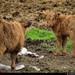 20160617_15 Highland calves | Norway
