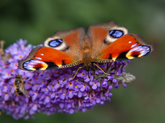 Peackock Butterfly on Buddleia (roseysnapper) Tags: aglais io douneside house olympus mzuiko ed 40150mm 14056 omd em10ii peacock butterfly royal deeside close up filter scotland buddleia bug insect nature outdoor wildlife