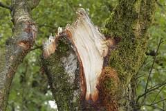 Truncation (Tony Tooth) Tags: nikon d7100 sigma 70mm tripod tree treetrunk broken snapped ripped bark wood gunhill staffs staffordshire staffordshiremoorlands countryside