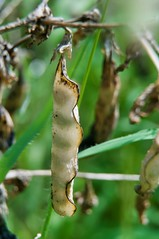 Dried out pea pod (crockettcrew) Tags: plant nature pea pod backyard