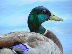 Green Head Mallard Drake (clarkcg photography) Tags: duck bird fowl water mallard drake greenhead head green animal fauna sundayfauna 7dwf
