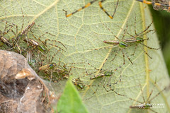 Green lynx spider (Peucetia madagascariensis) - DSC_7869 (nickybay) Tags: africa macro madagascar andasibe peucetia madagascariensis oxyopidae green lynx spider spiderlings babies