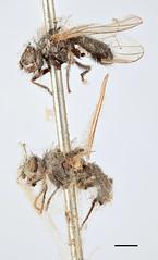 Anthomyza scatophagina Zetterstedt, 1838 (Biological Museum, Lund University: Entomology) Tags: diptera zetterstedt anthomyiidae anthomyza scatophagina delia angustifrons mzlutype00372
