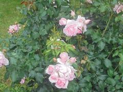 575 (en-ri) Tags: rose roses cespuglio bush sony sonysti verde rosa foglie leaves