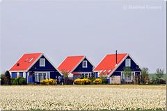 © • Texel • island impressions • (M.A.K.photo) Tags: texel holland netherlands niederlande blumen flowers blumenfeld bloemenveld flowerfield häuser bauwerke architektur architecture islandimpressions impressions northsea noordzee nordsee