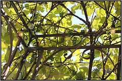 Maturing For Wine (bigbrowneyez) Tags: delightful grapes arbor vines fabulous iron design pattern beautiful light sunny cielo bello food fruit juicy sweet dolce nature leaves natura maturing wine vino drink edible clusters green precious details delicate pretty gorgeous striking stunning lafavorita restaurant italian preston littleitaly ottawa canada dof maturingforwine pergola