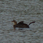 Common Loon thumbnail
