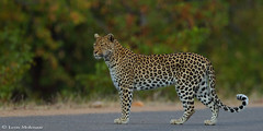 A brief encounter (leendert3) Tags: leonmolenaar southafrica krugernationalpark wildlife nature mammals africanleopard ngc npc coth5