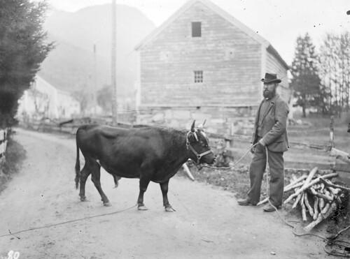 Man and bull, 1910.