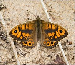 Wall (Antony Ward) Tags: butterfly wallbutterfly seatonsands sanddunes northeast