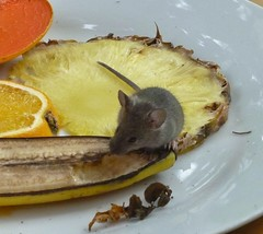 a little mouse eats the fruit (helenoftheways) Tags: mouse mice fruit butterflyhouse hornimansmuseum london uk pineapple banana lemon plate
