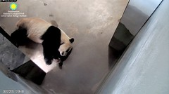 2018_08-12h (gkoo19681) Tags: beibei chubbycubby fuzzywuzzy adorableears feetsies naptime travelchute blockingdoor stayingcool comfy hisway happypaw justbecausehecan toocute beingadorable toofers sofluffy precious darling meltinghearts ccncby nationalzoo