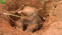 One of the greatest baby elephant rescue operations: Deep in the wild- Full Video (THE WILD ELEPHANT) Tags: huge elephant rescue video youtube quite baby funny kids videos the wild wildlife news tv