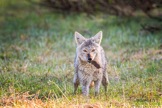 Coyote, Canis latrans, with a tasty snack, Grand Tetons NP, Wyoming