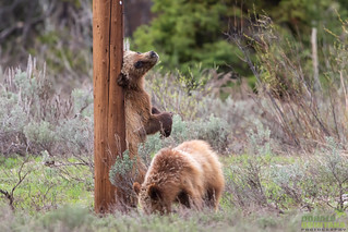Yearling Grizzly Cubs, Ursus arctos horribilis, Grand Tetons NP, Wyoming