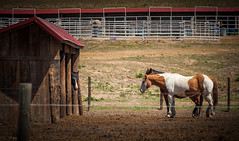 I can't come out, I'm grounded. (Angles & Edges) Tags: horse barn stables pen paddock stall fence colorado animal equestrian martinwitt anglesedges